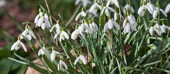 An image relating to Snowdrop Walk
